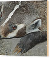 Badger On The Loose Wood Print