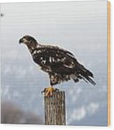 Bald Eagle - Immature - 0035 Wood Print