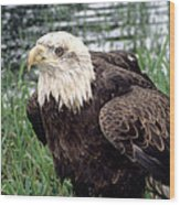 Bald Eagle At Riverside  Wood Print