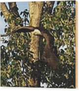 Bald Eagle Decending From Nest Wood Print