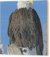 Bald Eagle Haliaeetus Leucocephalus Wood Print