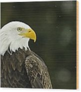 Bald Eagle In Ecomuseum Zoo Wood Print