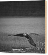 Bald Eagle Take Off Series 4 Of 8 Wood Print