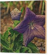 Balloon Flower - Antiqued Wood Print