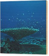 Banded Damselfish Swim Wood Print
