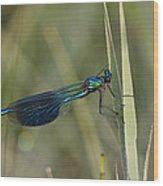 Banded Demoiselle Calopteryx Splendens Wood Print by Konrad Wothe