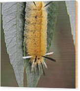 Banded Tussock Moth Caterpillar Wood Print