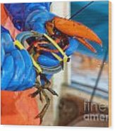 Banding An American Lobster In Chatham On Cape Cod Wood Print