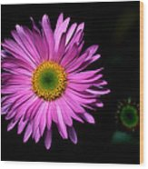 Banff - Subalpine Fleabane Wood Print