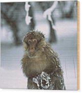 Barbary Macaque Macaca Sylvanus Male Wood Print