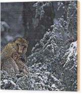 Barbary Macaque Male With Infant Wood Print