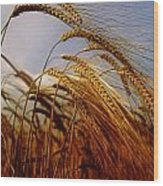 Barley, Co Meath, Ireland Wood Print