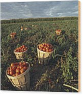 Baskets Of Fresh Tomatoes In A Field Wood Print