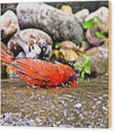 Bathing Cardinal Wood Print