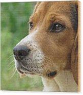 Beagle Gaze Wood Print