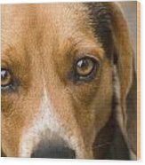 Beagle Hound Dog Eyes Of Love Wood Print