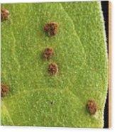 Bean Leaf With Rust Pustules Wood Print