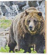 Bear On The Prowl. Wood Print