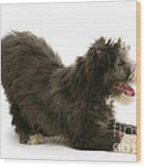 Bearded Collie Pup Wood Print