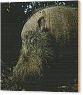 Bearded Swine Sus Barbatus Wood Print