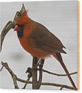 Beautiful Cardinal Wood Print
