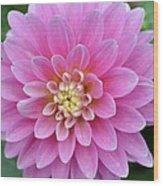 Beautiful Pink Dahlia Flower Wood Print