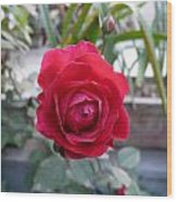 Beautiful Red Rose In A Small Garden Wood Print