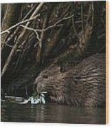 Beaver Building A Dam, Ozark Mountains Wood Print by Randy Olson