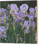 Bed Of Irises, Provence Region, France Wood Print