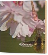 Bee Fly Feeding 8 Wood Print