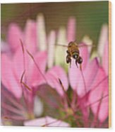 Bee In Flight Over Cleome Flower Wood Print