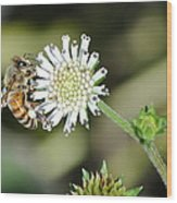 Bee On White Clover Wood Print