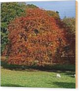 Beech Tree, Glendalough, Co Wicklow Wood Print