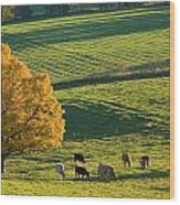 Beef Cattle Grazing In Autumn, North Wood Print