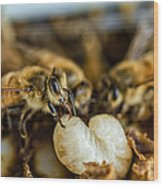 Bees Tending Larva Wood Print by James Bull