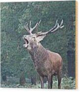 Bellowing Red Deer Stag Wood Print