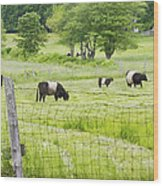 Belted Galloway Cows On  Farm Rockport Maine Photo Wood Print