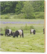 Belted Galloway Cows Pasture Rockport Maine Photograph Wood Print