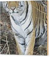 Bengal Tiger In Pench National Park Wood Print
