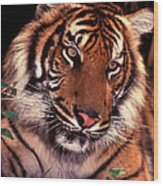 Bengal Tiger In Thought Wood Print