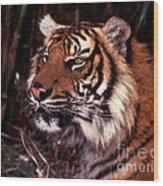 Bengal Tiger Watching Prey Wood Print
