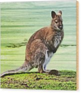Bennets Wallaby  Wood Print