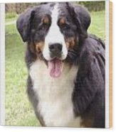 Bernese Mountain Dog 399 Wood Print