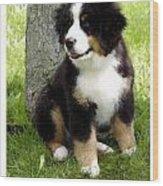 Bernese Mountain Dog 465 Wood Print