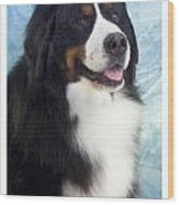 Bernese Mountain Dog 537 Wood Print