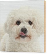 Bichon Frise With Tongue Out Wood Print
