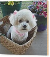 Bichon In A Basket Wood Print