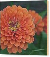 Big Bold Zinnia Flower Wood Print