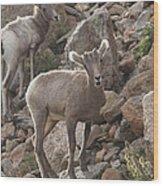 Big Horn Lambs Wood Print