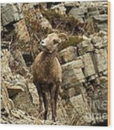Big Horn On The Rocks Wood Print